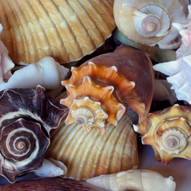 Lynda Lehmann: 'Elegant Companions', 2015 Digital Photograph, Beauty. Artist Description:  These seashells offers a colorful variety of forms and gestures, and only begin to hint at the richness and mysteries of nature.  Keywords:  shells, seashells, marine life, creatures, denizens, ocean dwellers, nature, beauty, patterns, gesture, color, ridges, conch, circular, beautiful, collection, graceful, elegant, mysterious, rich, furrows, lines, still ...