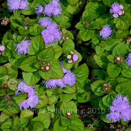 Lynda Lehmann: 'Feathery Ground Cover', 2010 Color Photograph, Floral. Artist Description:  Delicate ground cover with violet flowers and lush green leaves. Keywords: autumn, beautiful, beauty, bloom, blossom, botanical, delicate, fall, floral, flower, foliage, garden, green, ground- cover, growth, home, landscaping, leaves, life- cycle, nature, outdoors, perennial, petals, radiant, violet...