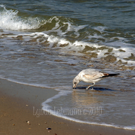 Lynda Lehmann: 'Feeding Time', 2010 Color Photograph, Beauty. Artist Description:   Seagulls checking out the sparkling blue- green water and breaking waves on Long Island Sound, for a meal. Keywords: water, nature, beach, beauty, scenic, sand, texture, shore, seagull, wildlife, bird, marine, coastal, seagulls  ...