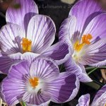 First Crocuses By Lynda Lehmann
