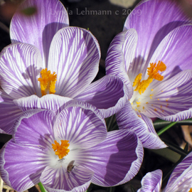 Lynda Lehmann Artwork First Crocuses, 2009 Color Photograph, Floral