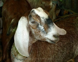 Color Photograph by Lynda Lehmann titled: Goat, created in 2009