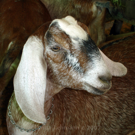 Lynda Lehmann: 'Goat', 2009 Color Photograph, Animals. Artist Description:  A young goat at a county fair in Maine. Image c Lynda Lehmann ...