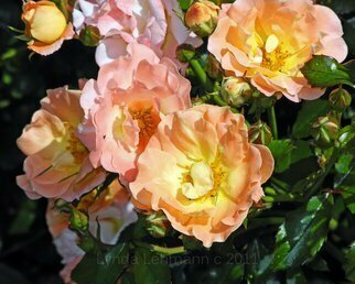 Lynda Lehmann: 'Golden Cluster', 2011 Color Photograph, Beauty. Artist Description:  A cluster of goreous, lush roses in soft hues of peach and yellow, luminous in morning sunshine. Keywords: floral, flower, roses, cluster, gleaming, fresh, sunlight, spring, bright, cheery, garden, botanical, romantic, soft, petals, light, sunlight, illuminated, inspiration, peace, scenic, nature, beauty, botanical, pretty, gorgeous, full, freshMy signature ...
