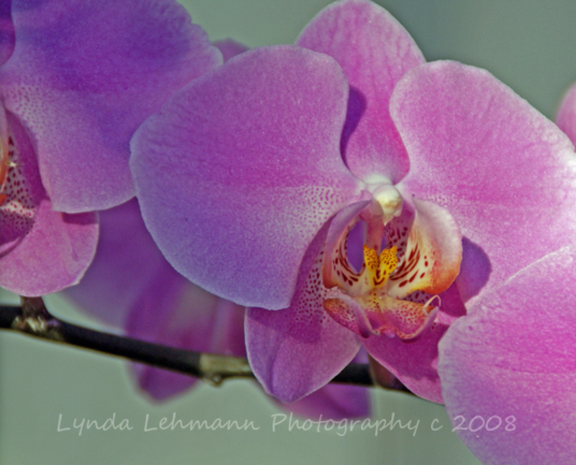 Lynda Lehmann  'Greenhouse Orchid Trio', created in 2008, Original Photography Mixed Media.