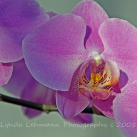 Lynda Lehmann: 'Greenhouse Orchid Trio', 2008 Color Photograph, Botanical. Artist Description:  A trio of pale magenta orchids basking in the fading light of a waning winter afternoon. Image c 2008 Lynda Lehmann.  Your print will be signed on the mat, not on the photo itself.  Matted to 11 x 14 in an acid- free mat.  Please feel free to ...