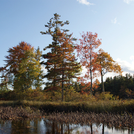 Lynda Lehmann: 'Guardians of the Light', 2008 Color Photograph, Landscape. Artist Description:  A row of trees on a small island in a Maine lake, glowing in the late- day autumn sunshine.  Image c Lynda Lehmann. ...