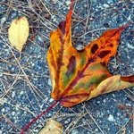 Leaf Aglow By Lynda Lehmann