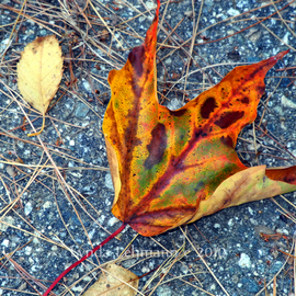 Lynda Lehmann: 'Leaf Aglow', 2010 Color Photograph, Botanical. Artist Description:  A single leaf on the road, brilliant in color, almost to the point of iridescence. Keywords: leaf, fall, autumn, foliage, solitary, color, texture, pattern, nature, beauty, glow, orange, burnished, rich, bright, ...