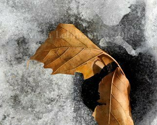Lynda Lehmann: 'Leaf Duo on Ice', 2010 Color Photograph, Conceptual.  A pair of dried oak leaves arched over a spot of pavement showing through melted ice.  Keywords: poetic, conceptual, leaves, oak, nature, beauty, poignant, ice, snow, winter, loneliness, solitude, juxtaposition, texture, tactile, isolated, contrasts, warm and cold, topography  ...