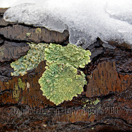 Lynda Lehmann: 'Lichen on Wet Bark', 2010 Color Photograph, Scenic. Artist Description:  Snow melting and dripping on lichen that's clinging to the bark of a wet branch, in the early spring.Keywords:  snow, tree, bark, white, green, branch, woods, forest, lichen, macro, closeup, arbor, forest, nature, beauty, orange, landscape, scenic   ...