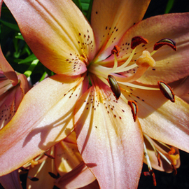 Lynda Lehmann: 'Lovely Lady Lily', 2006 Other Photography, Floral. Artist Description:  Lovely Lady Lily, basking in the sun.  A magnificent flower, poised in light and loveliness. Image c Lynda Lehmann.Print 8 x 10 matted to 11 x 14.  Printed on professional photo paper with Canon archival inks. ...