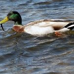 Mallard With Lunch, Lynda Lehmann
