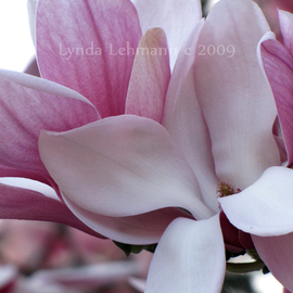 Lynda Lehmann: 'New Blooms', 2009 Color Photograph, Floral. Artist Description:  Pink Magnolia blossoms, lush, fresh, and full, in Central Park. Image c Lynda Lehmann. Archival print 8 x 10, matted ( acid- free) to 11 x 14 inches. My signature will be on the mat, not on your print. Please feel free to ask about other sizes.  ...