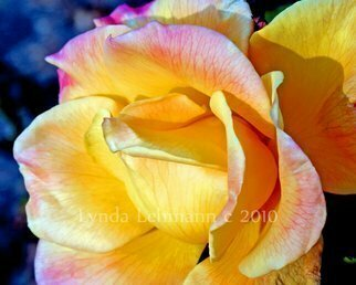 Lynda Lehmann: 'November Flame', 2010 Color Photograph, Floral. Artist Description:  A golden rose still lush and vibrant in the glow of a late November day. Archival print 8 x 10 matted to 11 x 14 inches. Keywords: floral, blossom, rose, yellow, flower, garden, lush, botanical, gleam, garden, seasonal, fall, autumn, light, glowing ...