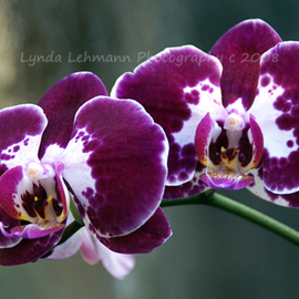Lynda Lehmann: 'Orchid Splendor', 2008 Color Photograph, Botanical. Artist Description:  Two velvety orchids in purple and white, lush in color, elegance, and mystery.  Image c 2008 Lynda Lehmann.  Archival print 8 x 10, matted ( acid- free) to 11 x 14 inches.  10. 0 ...