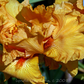 Lynda Lehmann: 'Peachy Petals', 2008 Color Photograph, Botanical. Artist Description:  e undulating petals of a peach- colored Iris, remind me of the repetition of form so evident in nature. Image c Lynda Lehmann. ...