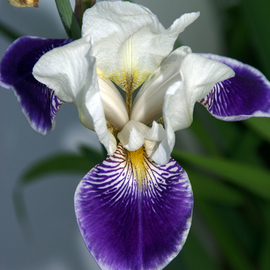 Lynda Lehmann: 'Poised in Perfection', 2008 Color Photograph, Botanical. Artist Description:  A gorgeous white and purple Iris, poised in perfection. I have rarely seen an Iris look so graceful and beautiful- - apparently at its peak. Image c Lynda Lehmann ...