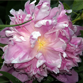 Lynda Lehmann: 'Precious Peony', 2008 Color Photograph, Botanical. Artist Description:  A lush and rich pink Peony, at its peak of color and gently unfolding beauty. To me, each petal is a marvel of graceful gesture. Image c Lynda Lehmann. ...