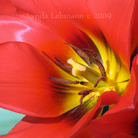 Red Glory  By Lynda Lehmann
