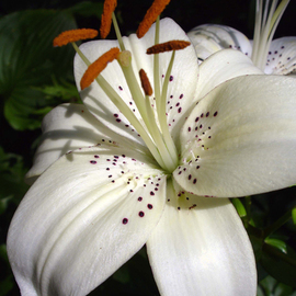 Lynda Lehmann: 'Regal', 2006 Other Photography, Floral. Artist Description:  A stately white lily from my garden, set against greens.  Image c Lynda Lehmann.  Matted archival print, ready for standard size frame.  ...