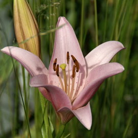 Lynda Lehmann: 'Replete', 2007 Other Photography, Floral. Artist Description:  A pale, peach colored lily, looking dignified and replete in the afternoon sun.  Image c Lynda Lehmann. ...