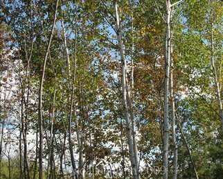 Lynda Lehmann Artwork Row of Birches, 2009 Row of Birches, Landscape