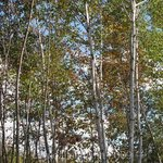 Row Of Birches, Lynda Lehmann