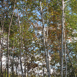 Lynda Lehmann: 'Row of Birches', 2009 Color Photograph, Landscape. Artist Description:  The delicate beauty of birches.  Shot in Maine in autumn. ...