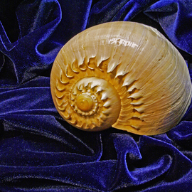 Shell on Blue Velour  By Lynda Lehmann