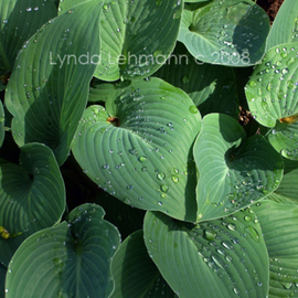 Lynda Lehmann: 'Sparkling Hostas', 2008 Color Photograph, Botanical. Artist Description:  Newly emerged hostas sparkling with droplets left over from an early morning shower. Image c Lynda Lehmann. Archival print 8 x 10 on professional photo paper, matted to 11 x 14 inches. Please feel free to ask about other sizes. My name and copyright will be on the ...
