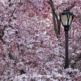 Lynda Lehmann: 'Street Lamp', 2009 Color Photograph, Floral. Artist Description:  A street lamp breaks through a spreading curtain of Magnolia blossoms, in Central Park. Image c Lynda Lehmann.Archival print 8 x 10, matted ( acid- free) to 11 x 14 inches. My signature will be on the mat, not on your print.  ...