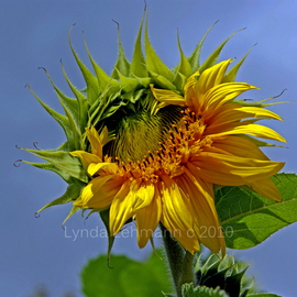 Lynda Lehmann: 'Sun Queen', 2010 Color Photograph, Floral. Artist Description:  A gorgeous, glowing Sunflower in her glory, reaching for the sky.  Matted to 11 x 14, in acid- free mat.  Please feel free to ask about other sizes.As with all my prints, I will sign on the mat, not on the print itself.Keywords: flower, golden, beauty, ...