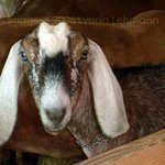 Sweet Calico Goat By Lynda Lehmann