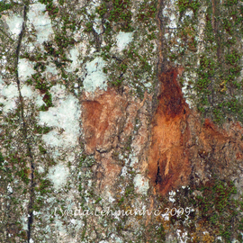 Lynda Lehmann: 'The Living Bark', 2009 Color Photograph, Abstract. Artist Description:  Moss and lichen make a colorful abstract composition on the surface of this tree. Image c Lynda Lehmann.Please feel free to ask about other sizes.  The listed size is 8 x 10 matted to 11 x 14, in an acid- free mat and archival sleeve. ...
