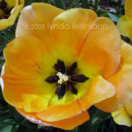 Lynda Lehmann: 'Tulip Rapture', 2008 Color Photograph, Botanical. Artist Description:  A bright and luminous display of beautiful yellow- orange tulips, truly representative of the glory of spring.  Image c Lynda Lehmann. ...