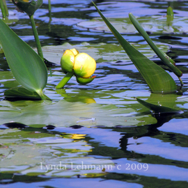 Winged Water Lily Blossom By Lynda Lehmann