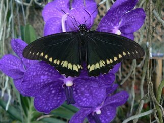 Jerry Schole: 'rest stop', 2020 Color Photograph, Beauty. Swallowtail Butterfly rest upon Orchid Vanda Pachara Delight. The Black atop the Blue Purple blossom enhances the feeling of calm.  ...