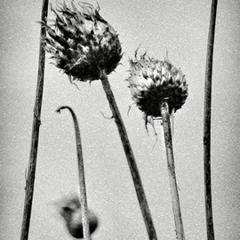 Jaromir Hron: 'Headers', 2011 Black and White Photograph, Floral. Artist Description:  detail, floral, nature, monochrome, black& white      ...
