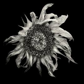 Jaromir Hron Artwork Sunset, 2011 Black and White Photograph, Floral
