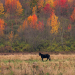 black horse autumn color By Charles Baldwin