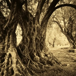 Manolis Tsantakis: 'old olive trees', 2016 Black and White Photograph, Trees. old olive trees, olive trees, olives, ancient trees, sepia, black and white, fine art...