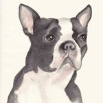 Adult Boston Terrier By Carolyn Alston Thomas