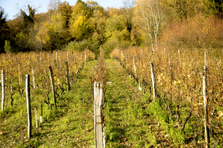 Color Photograph by Mary Mansey titled: Alps Vineyard, created in 2009