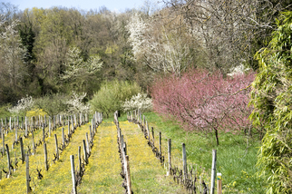 Color Photograph by Mary Mansey titled: Vignes au Printemps, created in 2009