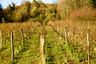 Color Photograph by Mary Mansey titled: Vineyard, created in 2009