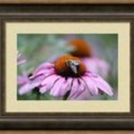 Honey Bee On A Pink Daisy, Mary Goodreau