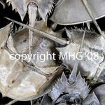 Horseshoe Crabs By Marcia Geier