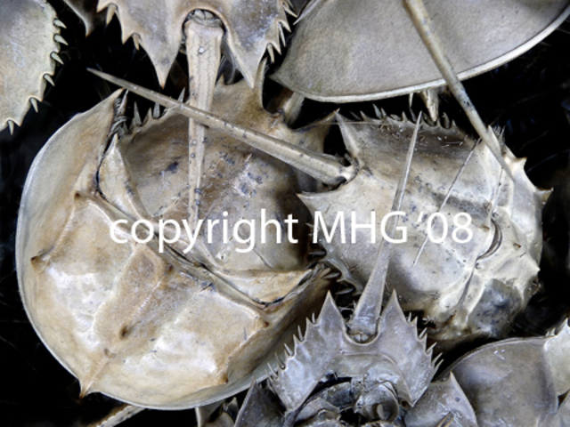 Marcia Geier  'Horseshoe Crabs', created in 2008, Original Photography Black and White.