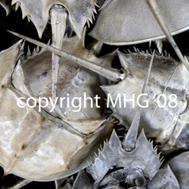 Marcia Geier Artwork Horseshoe Crabs, 2008 Color Photograph, Beach